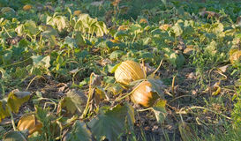Pumpkins. Ripe pumpkins is not removed from the garden Stock Images