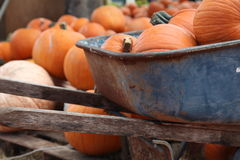 Pumpkins. A variety of pumpkins in a pumpkin patch. Some have been collected in a rusty old wheel barrow royalty free stock images