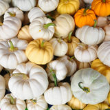 Pumpkins. The mixed of fresh small pumpkins Royalty Free Stock Photo