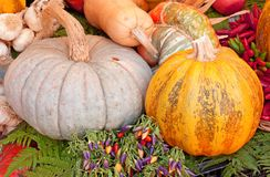 Pumpkins. Colorful pumpkins with chili peppers and garlic stock image