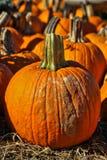 Pumpkins. Orange pumpkins ready for Halloween decoration Stock Photos