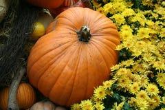 Pumpkins. Large pumpkin on display at a pumpkin contest Stock Images