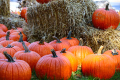 Pumpkins. Orange pumpkins in October on the dry grass background, shallow focus Stock Images