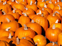 Pumpkins. From a pumpkin patch in Calif royalty free stock images