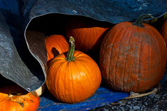 Pumpkins  3111 Stock Photo