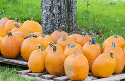 Pumpkins. Fresh from the field for sale at the farm Royalty Free Stock Photos