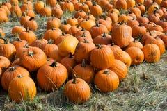 Pumpkins. Pile of pumpkins - farmers market Royalty Free Stock Photography