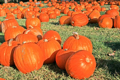 Pumpkins. Several bright orange pumpkins bathing in the morning sun on the grass Stock Photos