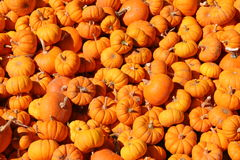 Pumpkins. In large quantity Stock Images