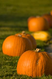 Pumpkins. In autumn in the evening sun Royalty Free Stock Image