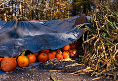 Pumpkins 8577 Royalty Free Stock Images
