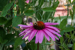 Coneflower with Bee Stock Image