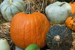 Pumpkins of all colors royalty free stock image