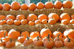 Pumpkins all in a row. Rows of pumpkins Royalty Free Stock Image