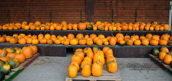 Pumpkins all in a row Stock Photo