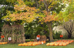 Free Pumpkins And Corn Stalks Stock Images - 11231544