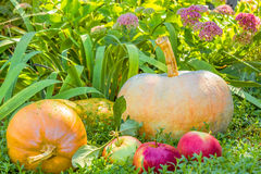 Pumpkins and apples among the flowers Stock Photos
