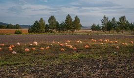 Free Pumpkins Are Scattered In The Field At  Harvest Pumpkins In Autumn Day Royalty Free Stock Images - 160594479