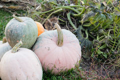 Pumpkins in autumn garden Royalty Free Stock Images