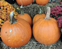 Pumpkins Autumn Seasonal Display. With chrysanthemums at side Royalty Free Stock Photo