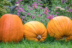 Pumpkins in backyard Royalty Free Stock Images