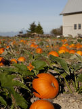 Pumpkins by Barn Royalty Free Stock Photo