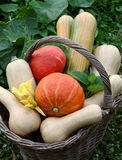 Pumpkins in the basket Royalty Free Stock Photos