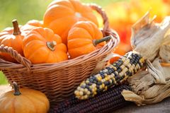 Pumpkins. In basket and decorative corns royalty free stock images
