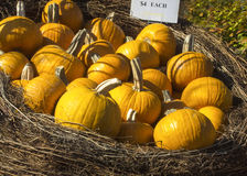 Pumpkins in a basket. This display of pumpkins glowing the sun was tastefully put together at a flower shop in Connecticut Stock Image