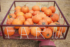 Pumpkins in basket Farm Product display Stock Photography