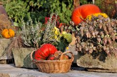 Pumpkins in a basket and heather Royalty Free Stock Image
