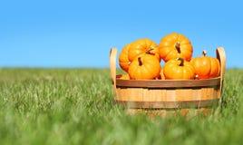 Pumpkins in basket. Outdoor Stock Image