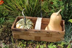 Pumpkins in a basket. The picture shows pumpkins in a basket royalty free stock image