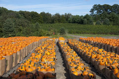 Pumpkins in bins. At local farmers field, Chesterfield, New Jersey Royalty Free Stock Images