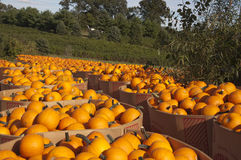 Pumpkins in bins. At local farmers field, Chesterfield, New Jersey Stock Photos