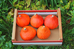 Pumpkins in the box. Some pumpkins in the box Royalty Free Stock Photo