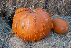 Pumpkins with bumps. A peanut pumpkin with lots of bumps sits next to a miniature pumpkin against a background of hay bales Stock Photography