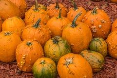 Pumpkins with bumps seasonal royalty free stock image