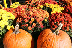 Pumpkins and Chrysanthemums Royalty Free Stock Image