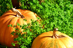 Pumpkins in a Clover Field. Pumpkins left abandoned in a clover field Royalty Free Stock Image