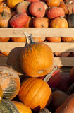 Pumpkins collection on the market Royalty Free Stock Photography