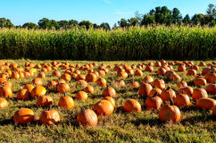 Pumpkins and Corn Field. Pumpkins lying on grass in front of corn field Stock Images