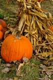 Pumpkins with corn stalks at harvest Royalty Free Stock Photo