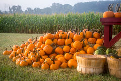 Pumpkins and the Cornfield Stock Photography
