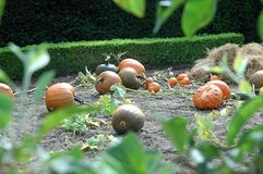 Pumpkins. In the cottage garden of Walmer Castle in England Royalty Free Stock Photography