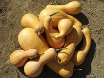 Pumpkins crop Royalty Free Stock Image