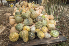 Pumpkins, Cucurbita argyrosperma, moschata, Butternut, maxima, c Stock Photo