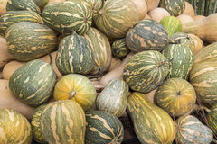 Pumpkins, Cucurbita argyrosperma, moschata, Butternut, maxima, c Royalty Free Stock Photos