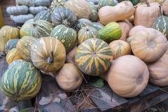 Pumpkins, Cucurbita argyrosperma, moschata, Butternut, maxima, c Stock Images