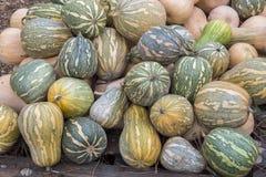 Pumpkins, Cucurbita argyrosperma, moschata, Butternut, maxima, c Royalty Free Stock Images